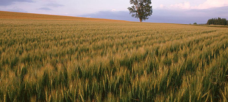 Filiera Cereali e COVID-19: analisi e prospettive