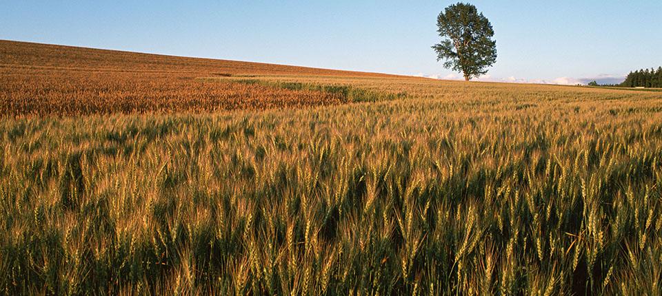 Emergenza sanitaria Covid-19: malgrado l'incremento del consumo di farina per uso domestico, il comparto molitorio a frumento tenero registra una contrazione delle vendite senza precedenti