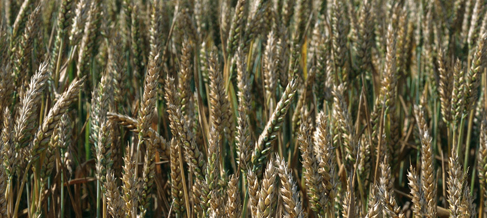 Durum wheat: imports from Canada quadrupled to Italy